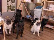 20100411_cimg0391_dogparadisepug